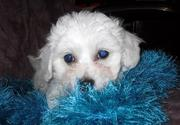 Cute Bichon Frise puppies for lovely family